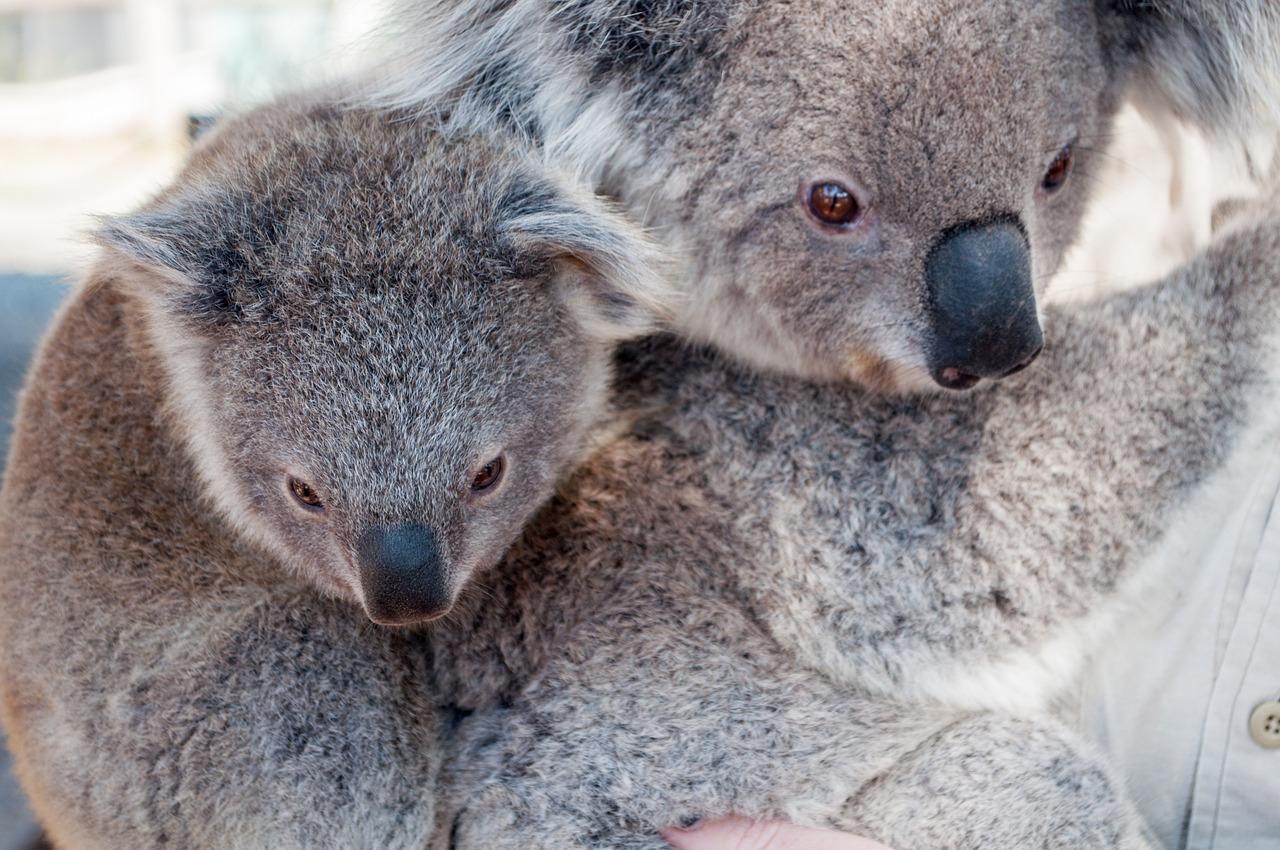 Koala Koala Bear Facts For Kids Itsuniquethoughtcom The