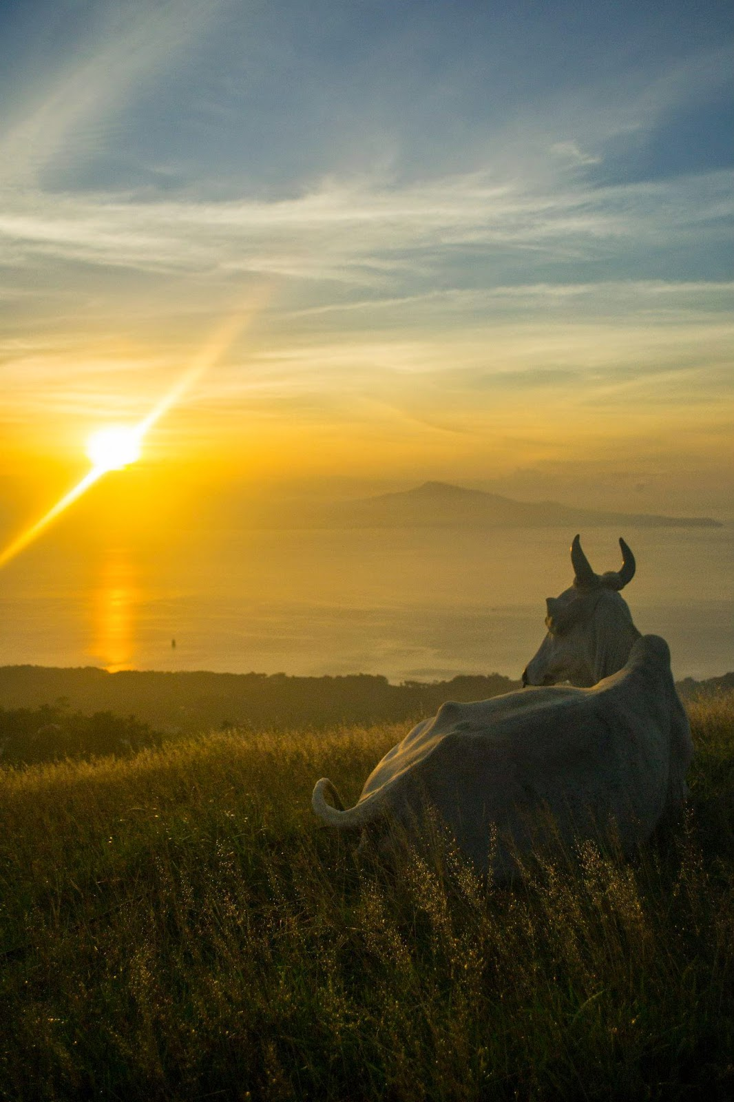 Sunrise at Mt. Gulugod Baboy with the friendly Cow
