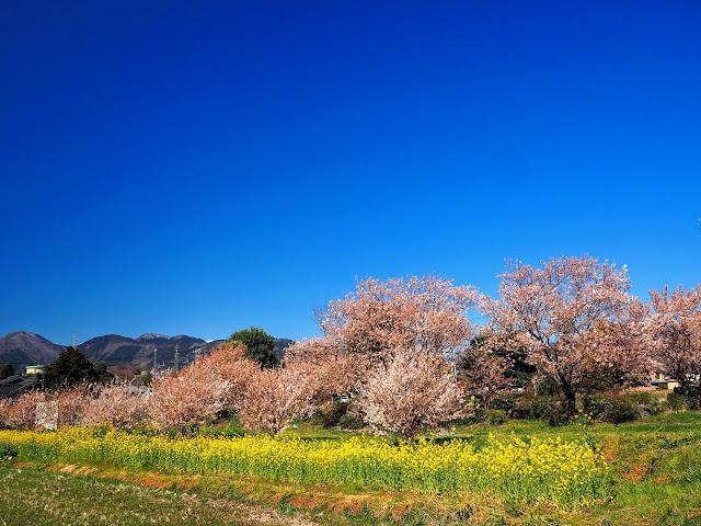 ふくざわ公園 春めき桜