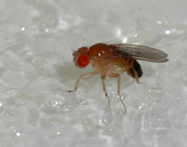 What to do about fruit flies