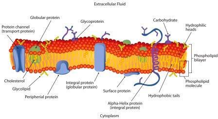 Membran sel adalah bagian terluar dari sel yang berfungsi melindungi dan membatasi
