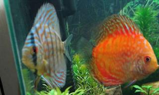 Ikan Hias Discus Cara Budidaya Jenis