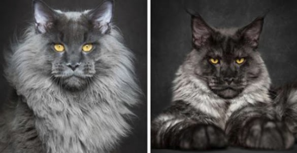 Cute Maine Coon Kittens That Are Actually Giants Waiting To Grow Up