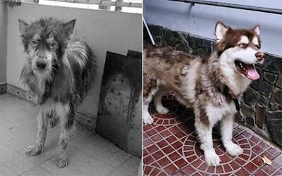 Chú chó alaska bị ngược đãi