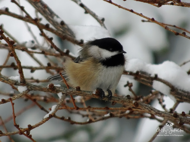 Chickadee In Winter Photo