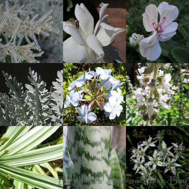 Santolina, Iceberg with spider, Ivy pelargonium Dusty Miller, Plumbago, perennial basil Cyperus albo-striatus, Santolina, garlic chives