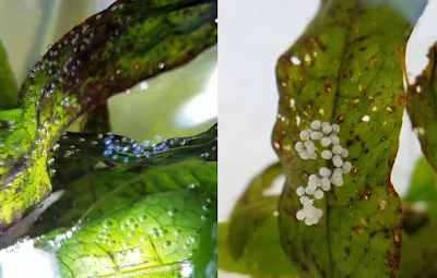 Freshwater pest snail eggs reacting to copper dip and alum dip on aquarium plants