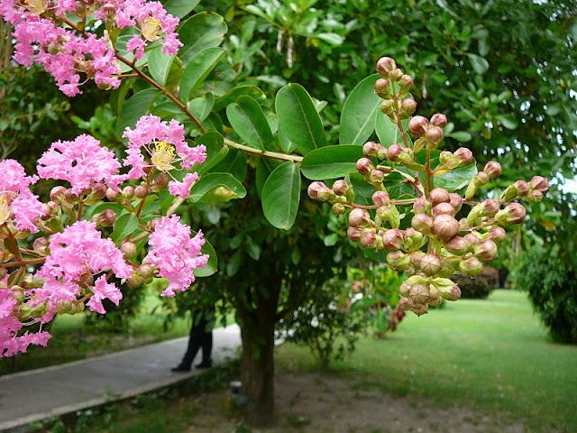tree-Lagerstroemia_indica.jpg