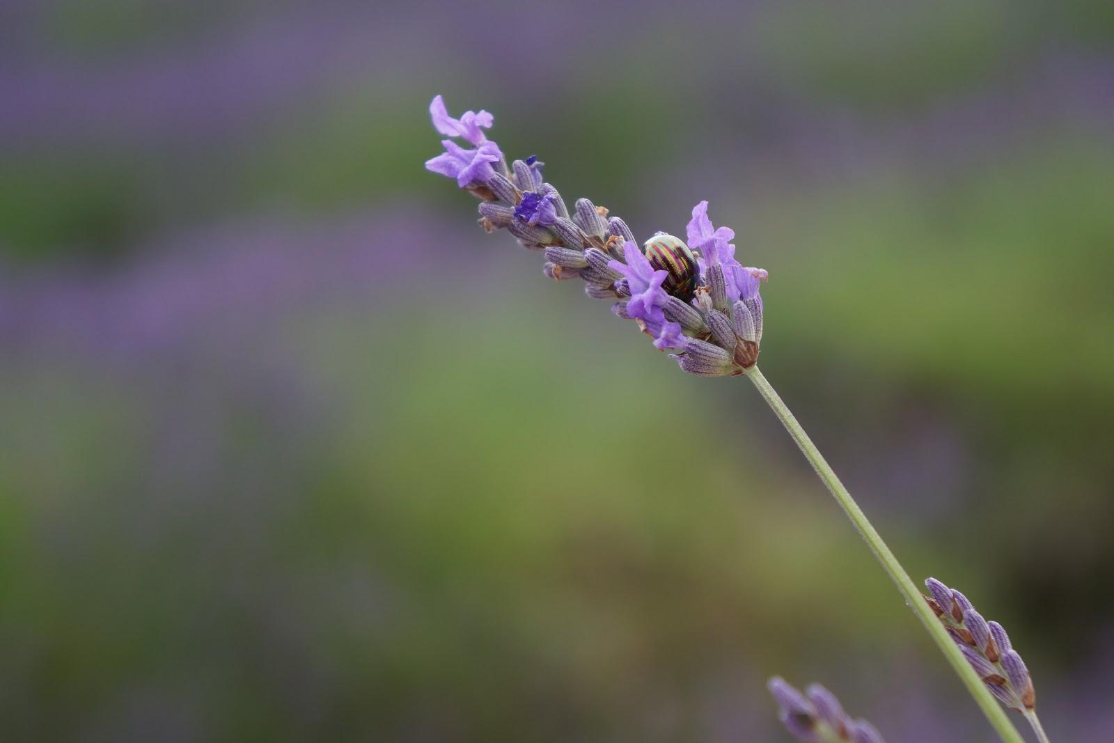 beetle on a lavender flower