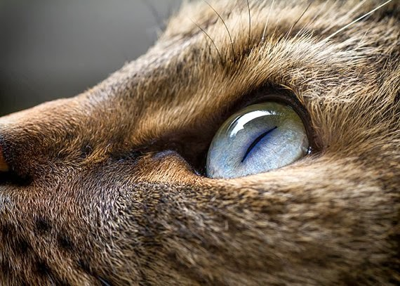 https://www.etsy.com/listing/125827332/cat-photo-5x7-cats-eye-iris-feline-tabby?ref=favs_view_4