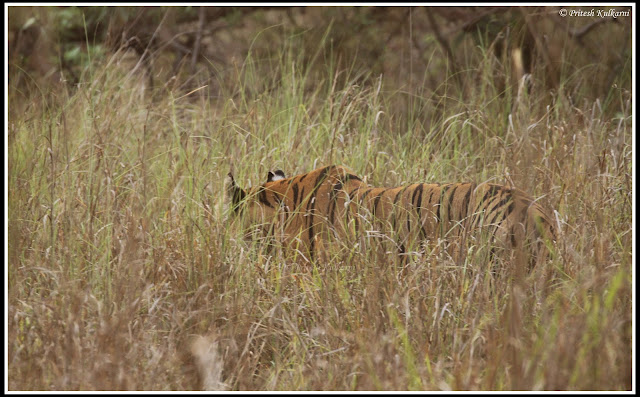Munna Tiger: Royal Walk of Bangal Tiger, Kanha national Park