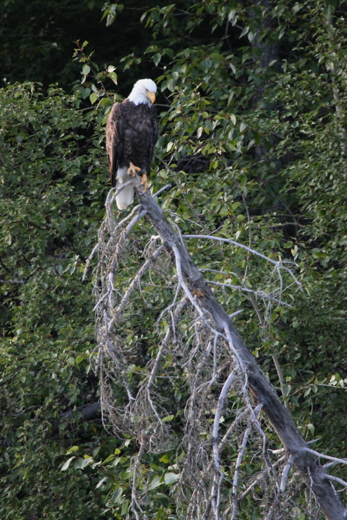 kenai river alaska float trip; bald eagle