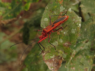Dysdercus koenigii, red cotton bug