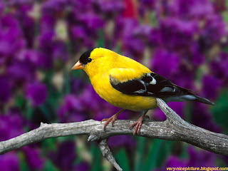 bird wallpapers | birds pictures | yellow bird sitting on the tree
