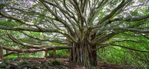 The banyan tree (pohon beringin)