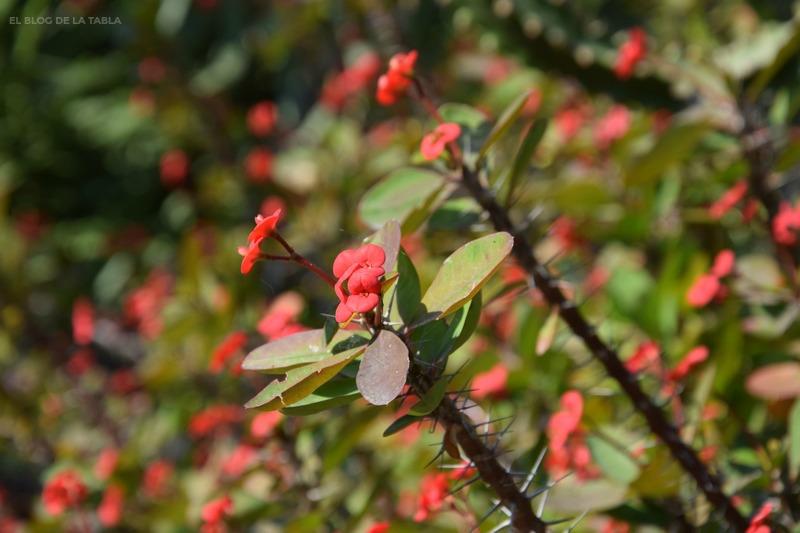 Euphorbia milii (corona de espinas)