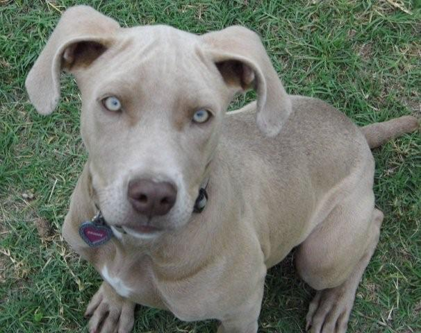 Weimaraner Pitbull Lab Mix | www.imgkid.com - The Image ...