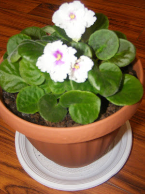 Violeta de parma alba floare decorativa de apartament,