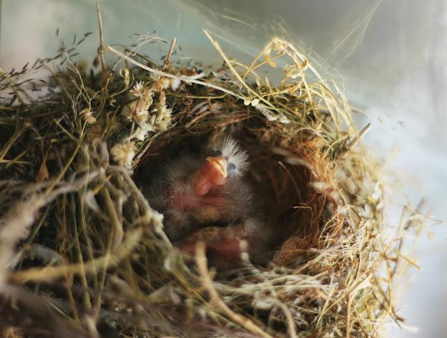 baby_birds_nest