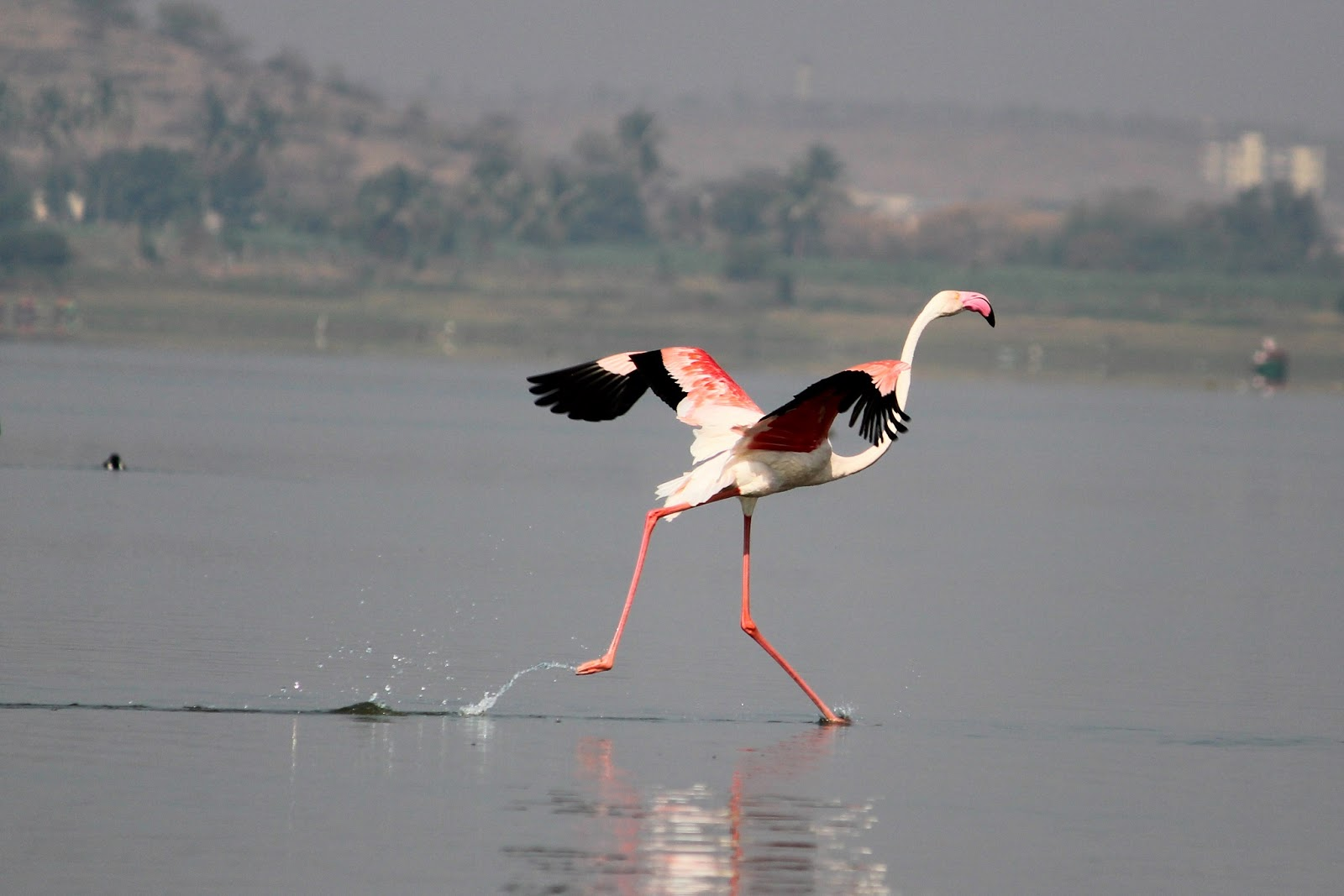 Flamingo at Bhigwan
