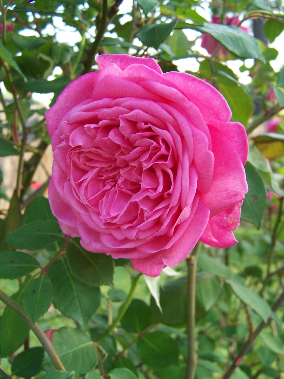 Henny Penny Rose Cottage Wednesday Bloomers Of The