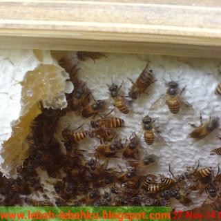 cara ternak lebah madu lokal