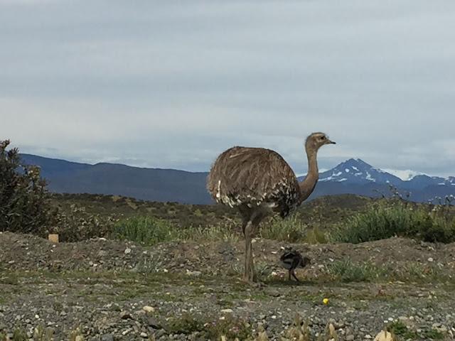 Ñandú en Torres del Paine