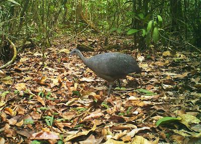 Azulona, Tinamos tao, aves, aves do Tocantins, inhambu-açu, itona, Mato Grosso, inhambu-peba, peva, Amazonas, inhambu-tona, inamu, ubu, Araguaína, aves de Araguaína, UFT, birds, birding, Brazil, pesquisadores, pássaros, biologia, biólogos do Tocantins