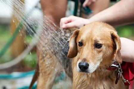 Tắm Cho Chó Sau Khi Triệt sản