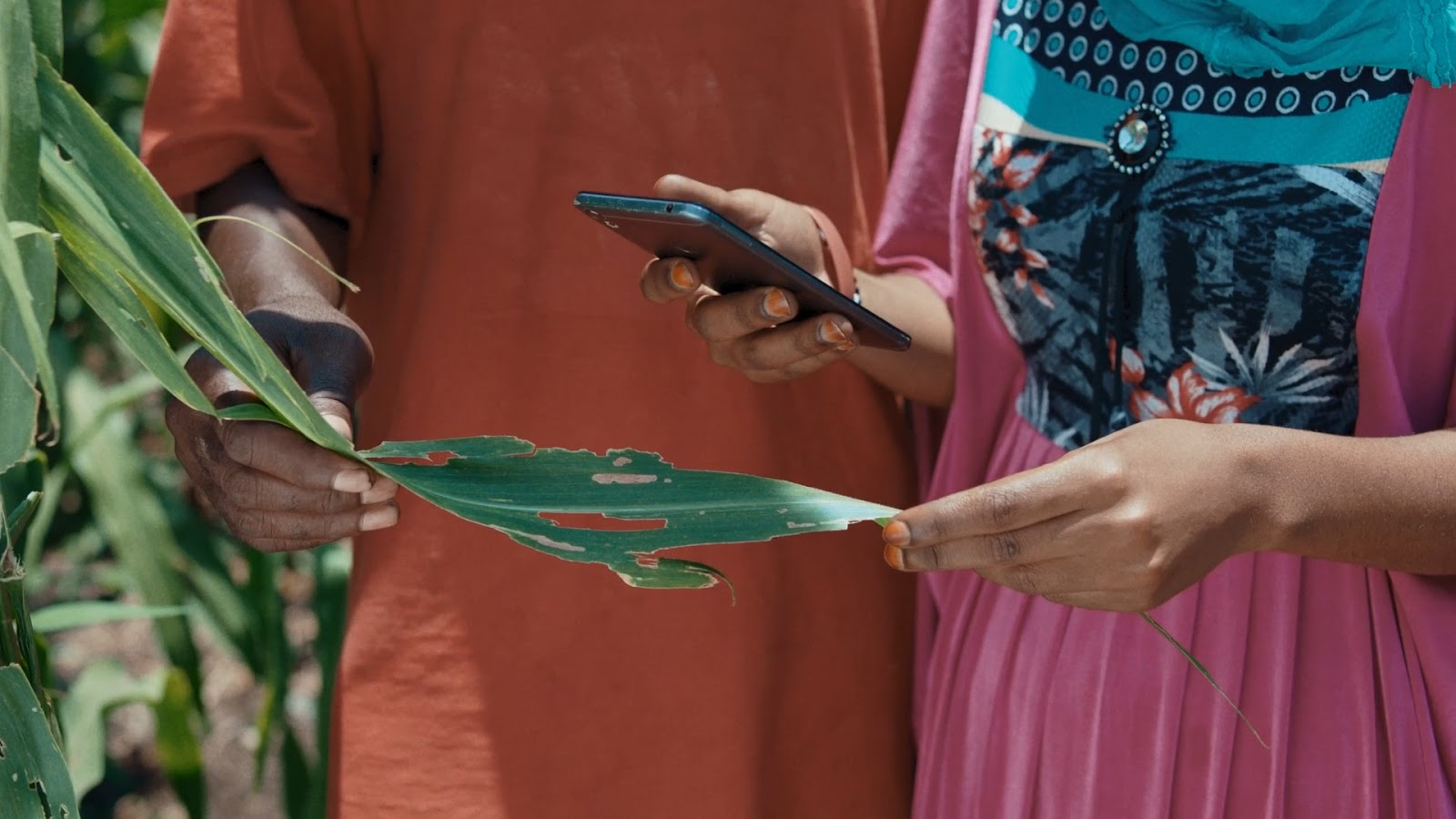 Demonstration of the Android app identifying the Fall armyworm