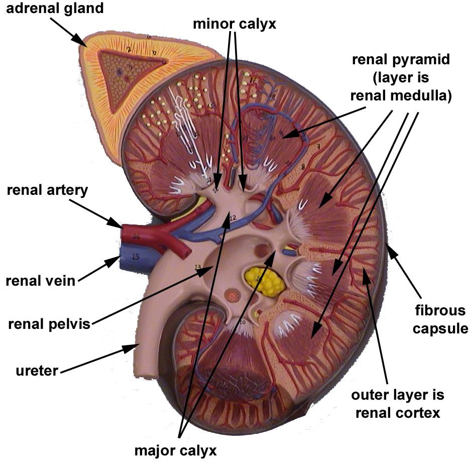Biology  Mbbs   Structure Of Human Kidney With Labeled