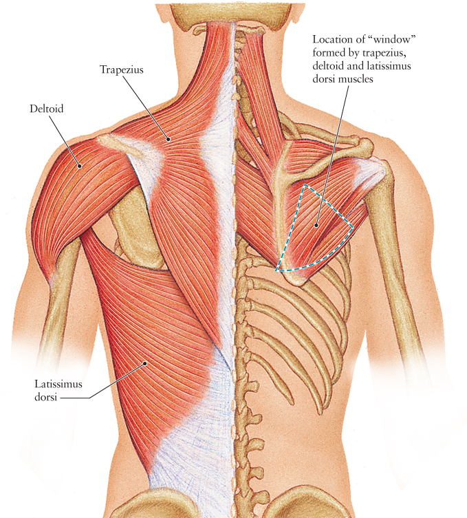 Human Anatomy for the Artist: The Posterior Torso Muscles ...