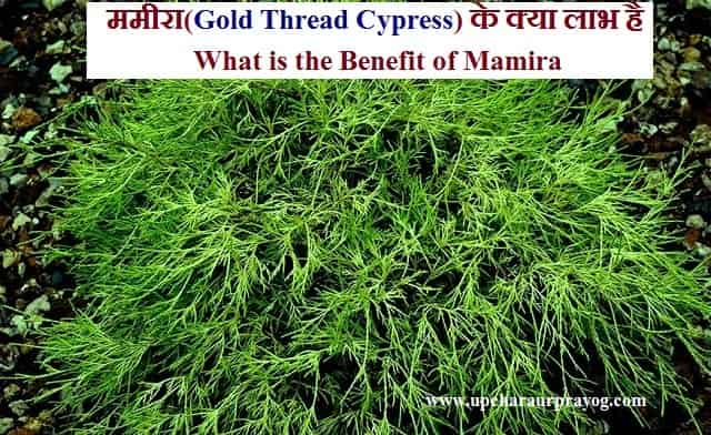ममीरा(Gold Thread Cypress) के क्या लाभ है-What is the Benefit of Mamira