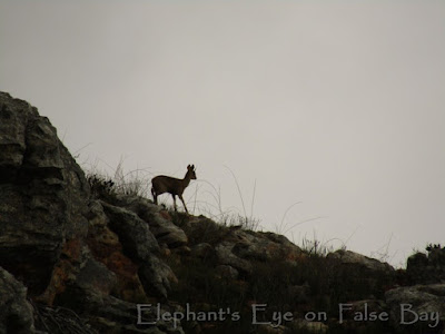 Klipspringer on Simonsberg