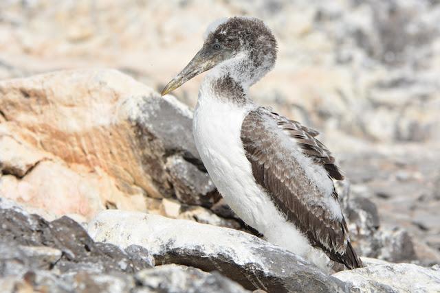 Bird spotting Punta Suarez baby
