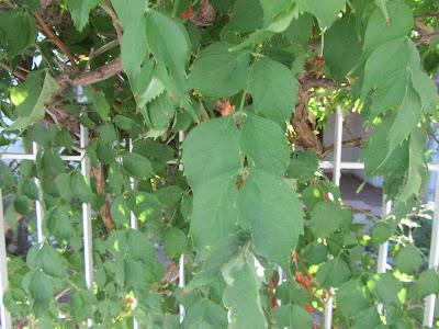 Foglie Campsis Bignonia
