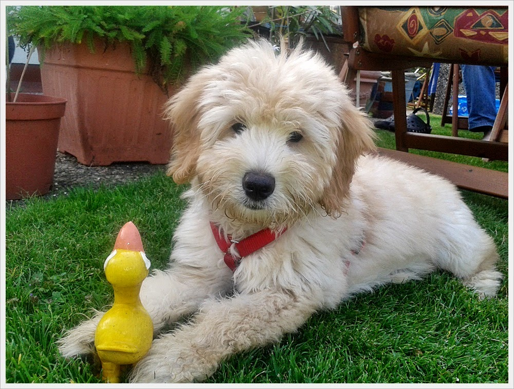 Goldendoodle F1 Mini Dana