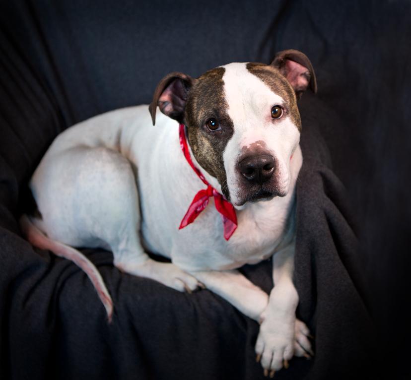 Best Pitbull Chubby Adorable Dog - humphrey8  Best Photo Reference_59434  .jpg