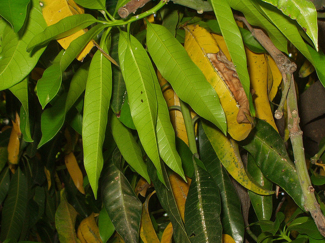 Aromaatherapy: THE BENEFITS OF MANGO LEAVES EXTRACT: A Complement to