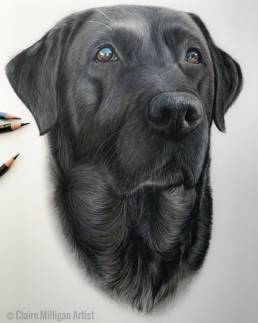 06-Lexi Black-Labrador-Claire-Milligan-Realistic-Color-Pencil-Animal-Portraits-www-designstack-co