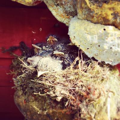 linnunpoikaset, linnunpesä, pahkakoriste