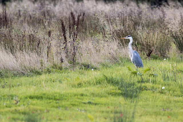 Grey Heron stalking the fields