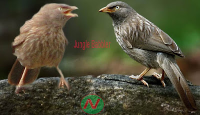 jungle babbler,সাতভাই ছাতারে; বনছাতারে