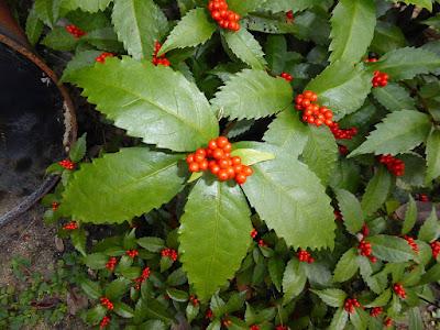 センリョウ 赤い実