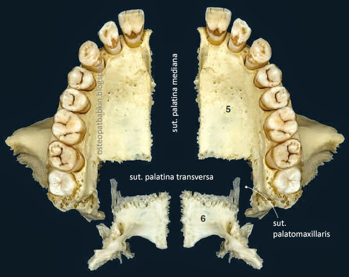 Шов верхней челюсти с нёбной костью: небно-верхнечелюстной шов, sutura palatomaxillaris.