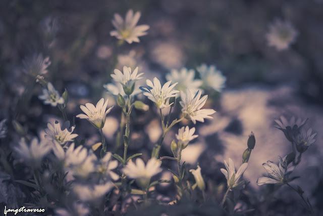 céraiste, flore des Alpes, flore de France, fleurs