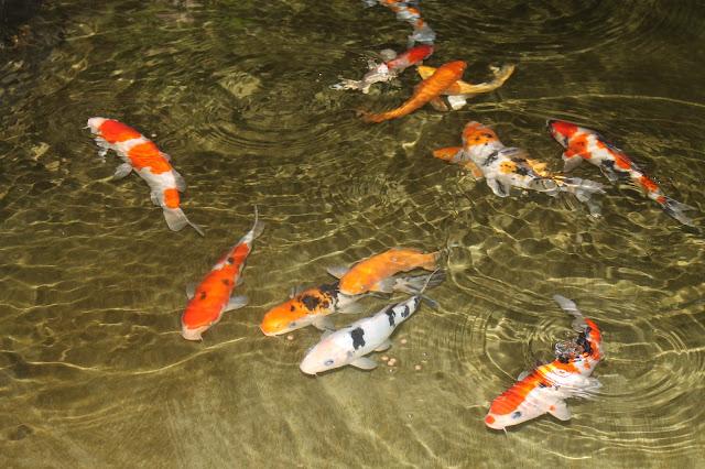 Kolam Ikan Yang Mendamaikan