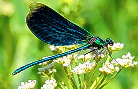Green dragonfly pictures - photo#54