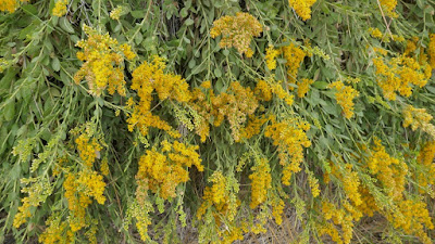 Alberta, Whitla, plant, goldenrod, wild