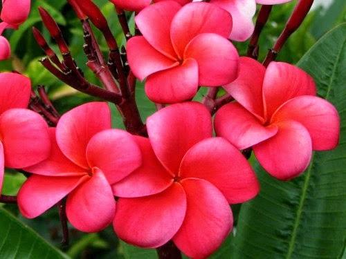 Image result for bunga kemboja